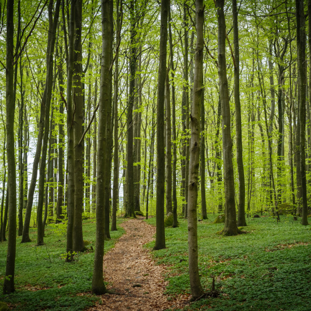 """""""The beech forest"""" stock image"""