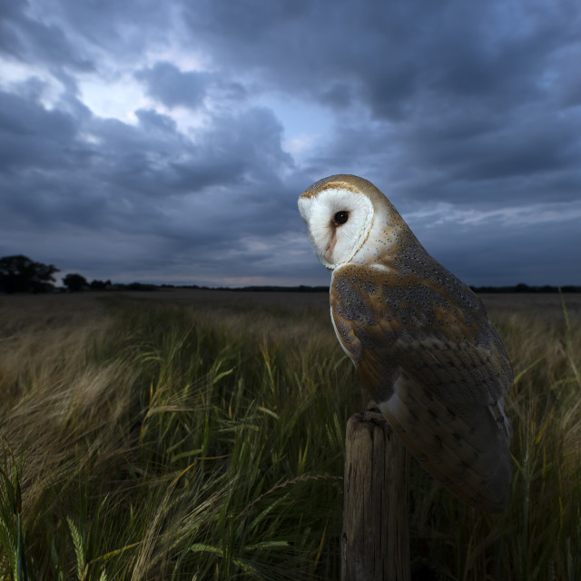 """Barn owl in a field"" stock image"
