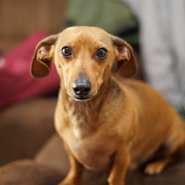 """Chiweenie in Albuquerque, NM"" stock image"