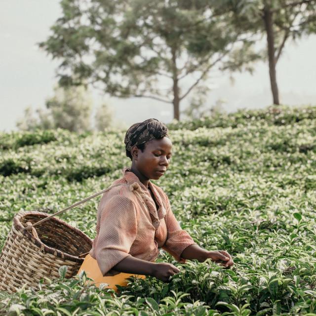 """lady picking tea in Rwanda"" stock image"
