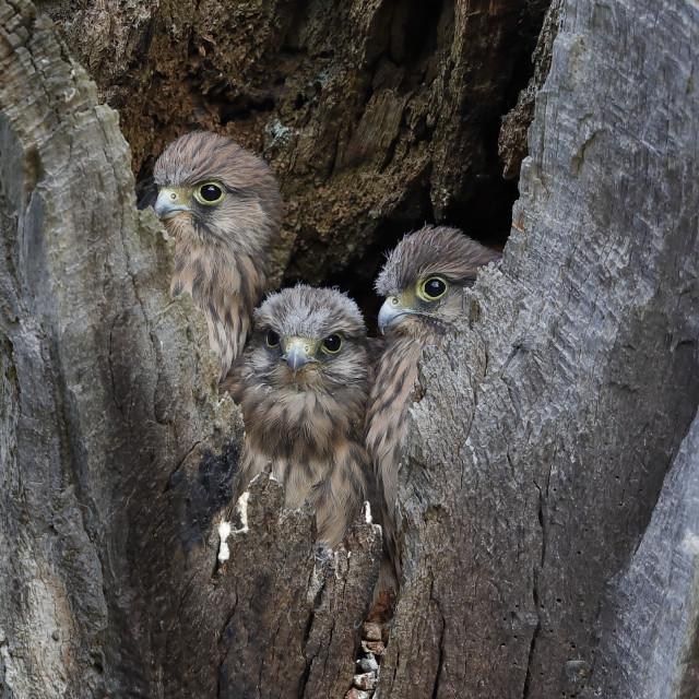 """Common kestrel chicks in their nesting hole"" stock image"