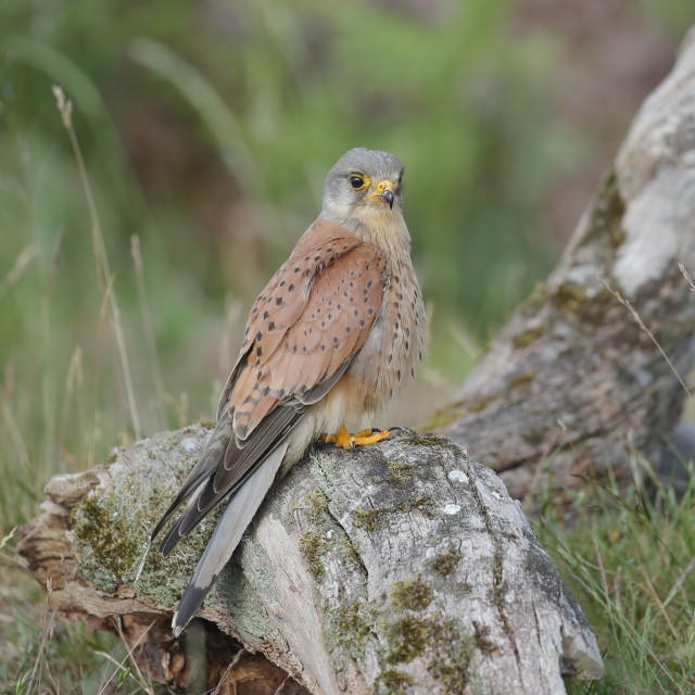 """""""A Common kestrel perched up close"""" stock image"""
