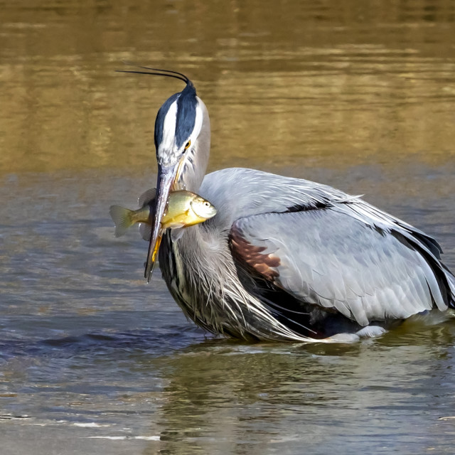 """""""Great blue heron (Ardea herodias) with fish in it's mouth; Denver, Colorado,..."""" stock image"""