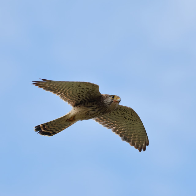 """A Common kestrel in flight"" stock image"