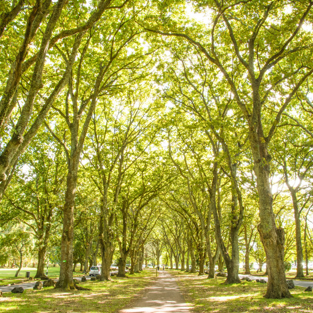 """Green alley (Twin Oak Drive) in Cornwall park, Auckland"" stock image"