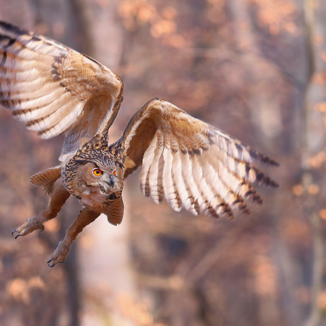 """Eurasian eagle-owl flying forward with wings open in autumnal nature"" stock image"