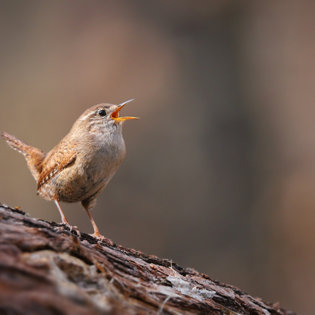 """Tiny eurasian wren, troglodytes troglodyte, singing in spring forest"" stock image"