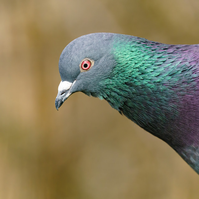 """""""Rock Dove (Columba livia) close-up portrait showing irridescent green and..."""" stock image"""