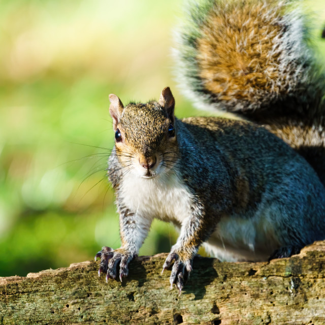"""Gray Squirrel (Sciurus carolinensis) standing on a fallen tree looking at..."" stock image"