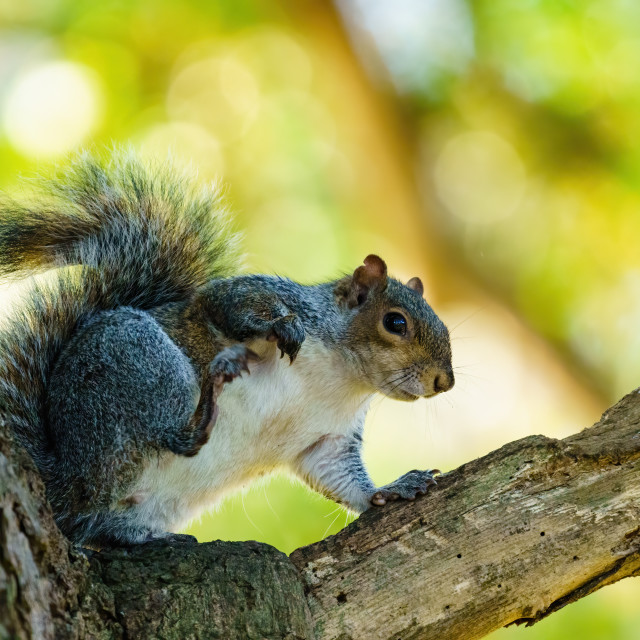 """Gray Squirrel (Sciurus carolinensis) in the shade of a tree having a scratch,..."" stock image"