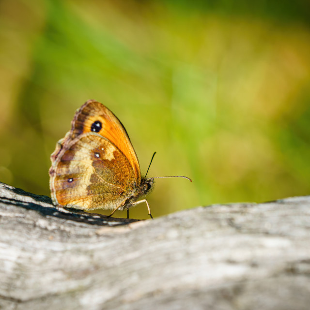 """Gatekeeper Butterfly (Pyronia tithonus) sitting on a log, taken in the UK"" stock image"