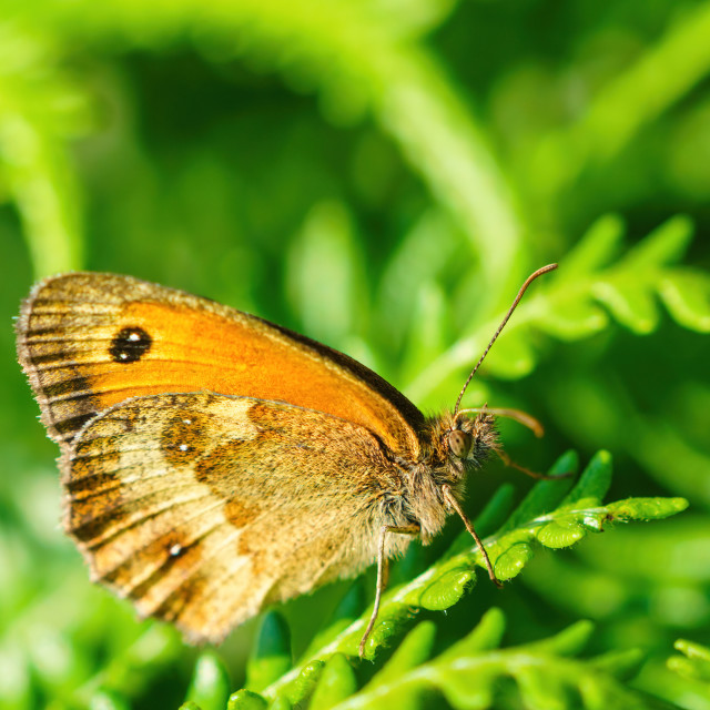 """Gatekeeper Butterfly (Pyronia tithonus) close-up, taken in the UK"" stock image"