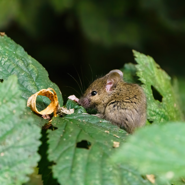 """Wild House Mouse (Mus musculus) sitting on a leaf while in search of food,..."" stock image"