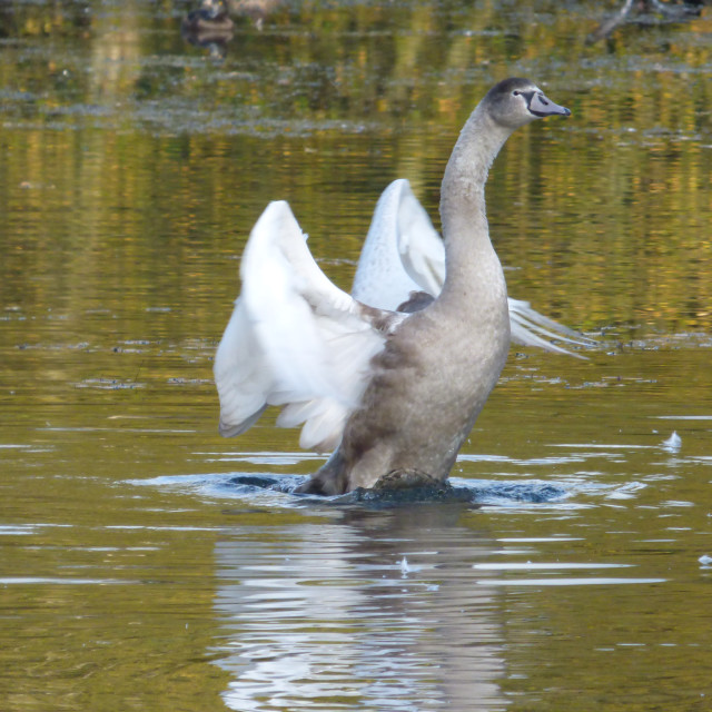 """""""Cygnet in Transition"""" stock image"""