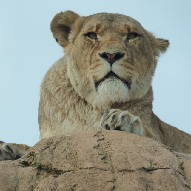 """""""Lioness - Deep in Thought"""" stock image"""
