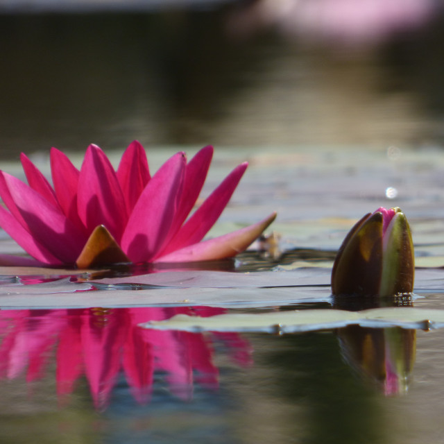 """""""Waterlily Reflection"""" stock image"""