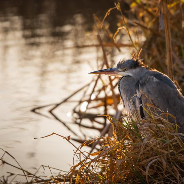 """A common Grey Heron (Ardea cinerea)"" stock image"
