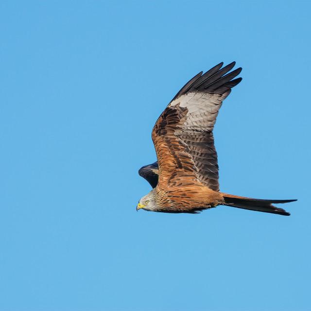 """""""Red Kite no 1"""" stock image"""