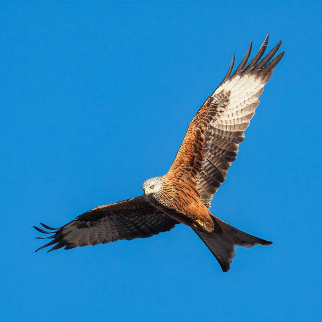 """""""Red Kite no 2"""" stock image"""