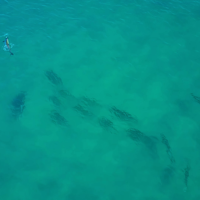 """""""Great white shark swimming just under the surface"""" stock image"""