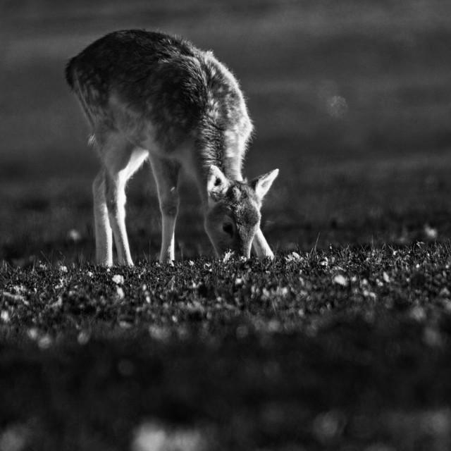 """Fallow Deer Calf grazing"" stock image"