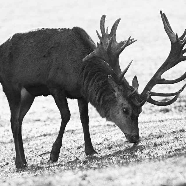 """Red Deer Grazing"" stock image"