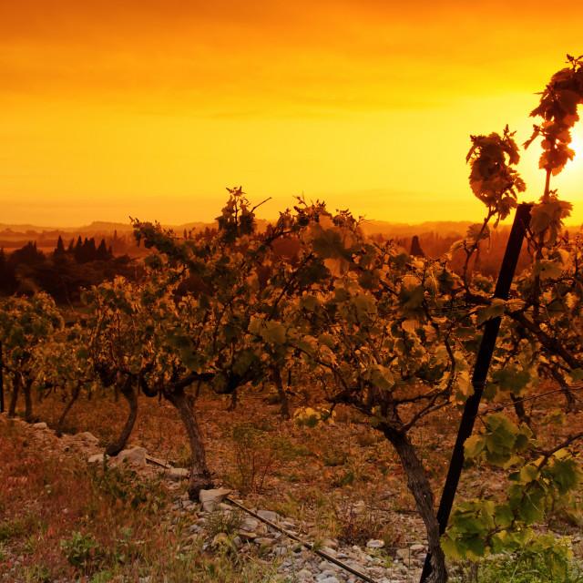 """Golden vineyard"" stock image"