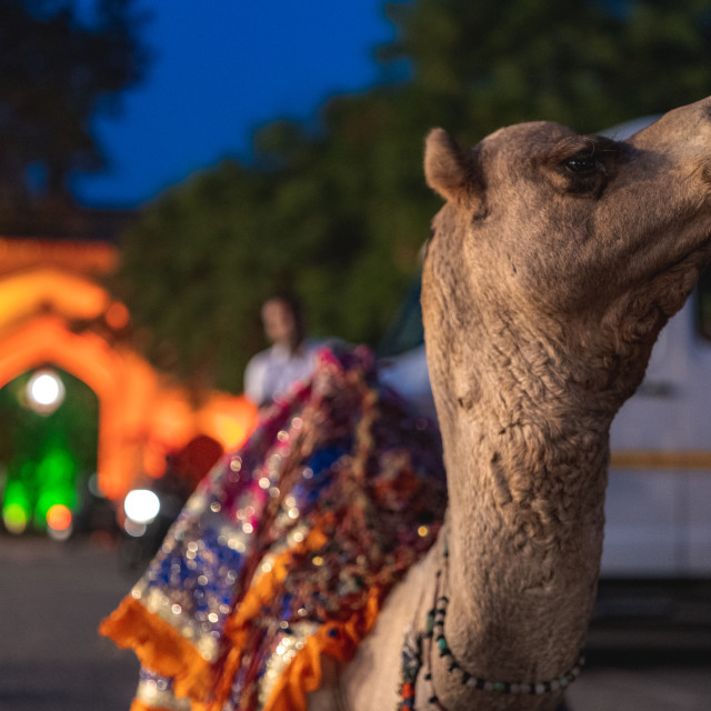 """""""A camel prepared to be part of a wedding ceremony in Jaipur, India"""" stock image"""