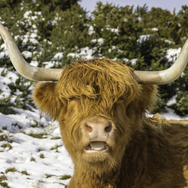 """Highland coo in the Snow"" stock image"