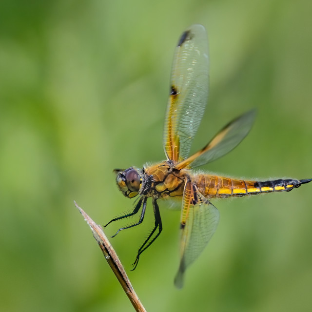 """""""Four spot chaser"""" stock image"""