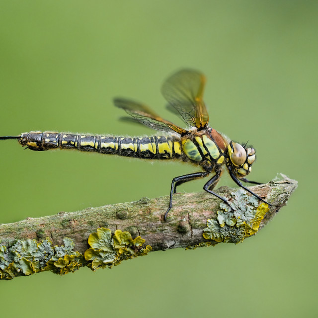 """""""Hairy dragonfly"""" stock image"""