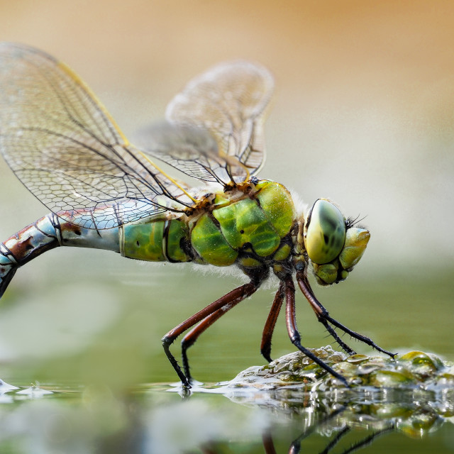 """""""emperor dragonfly"""" stock image"""