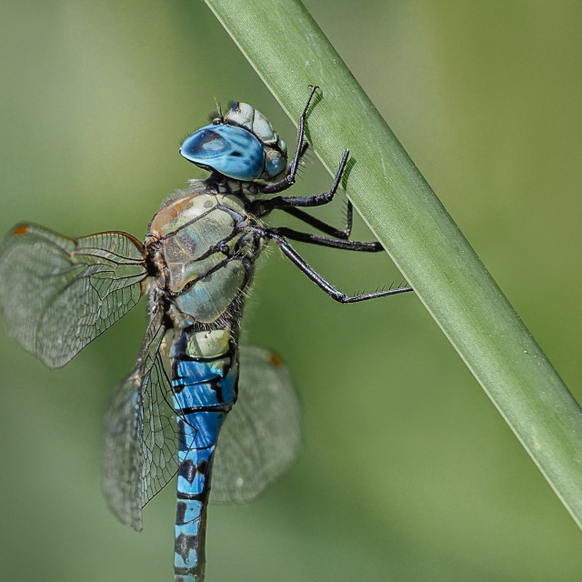 """""""Southern Migrant Hawker"""" stock image"""