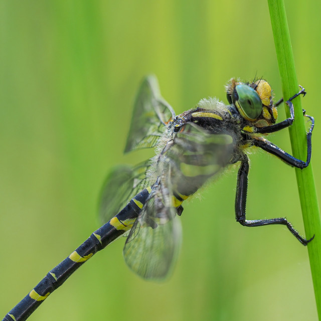 """""""Golden-Ringed Dragonfly"""" stock image"""