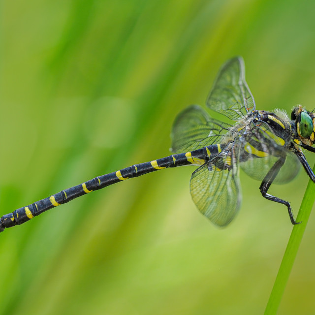 """""""Golden-Ringed Dragonfly no 1"""" stock image"""