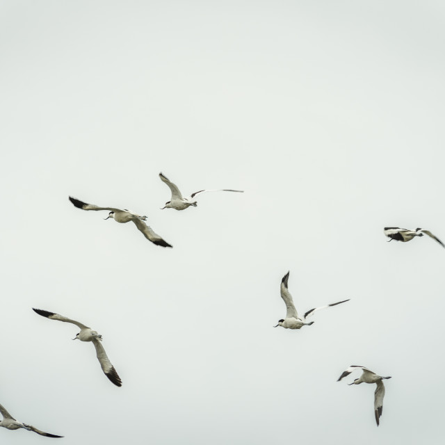 """""""Flocks of Avocet and Blackwinged stilts leave the water and fly."""" stock image"""