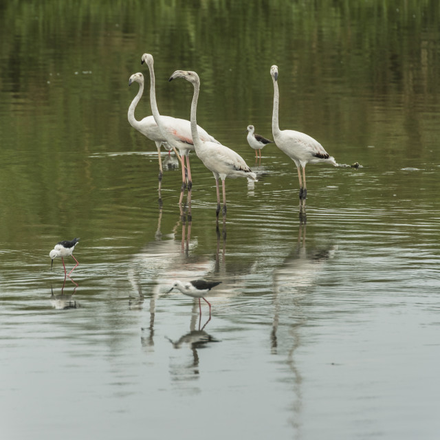 """""""Greater flamingo shares the river with blackwinged stilts."""" stock image"""