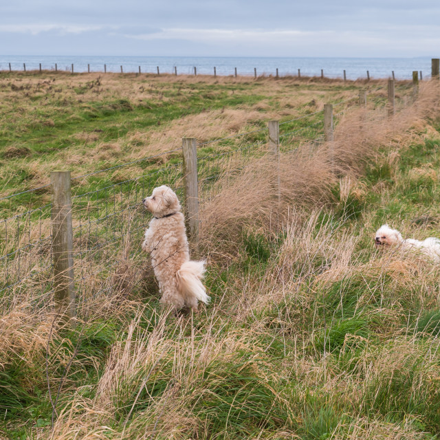 """Two dogs in a field"" stock image"