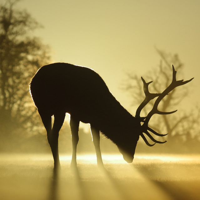 """Sunlit stag"" stock image"