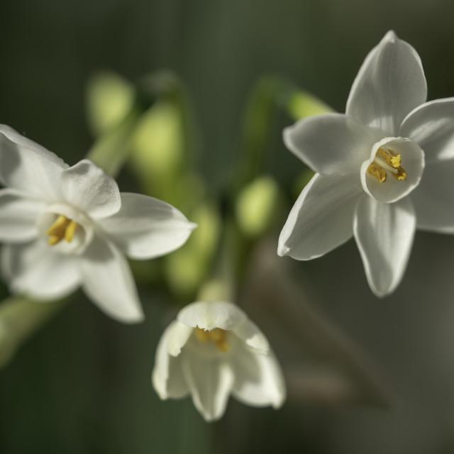 """Wild Narcissus 2"" stock image"