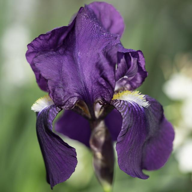 """""""Bearded Iris"""" stock image"""