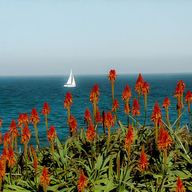 """""""Monterey Bay with flowers and sailboat"""" stock image"""