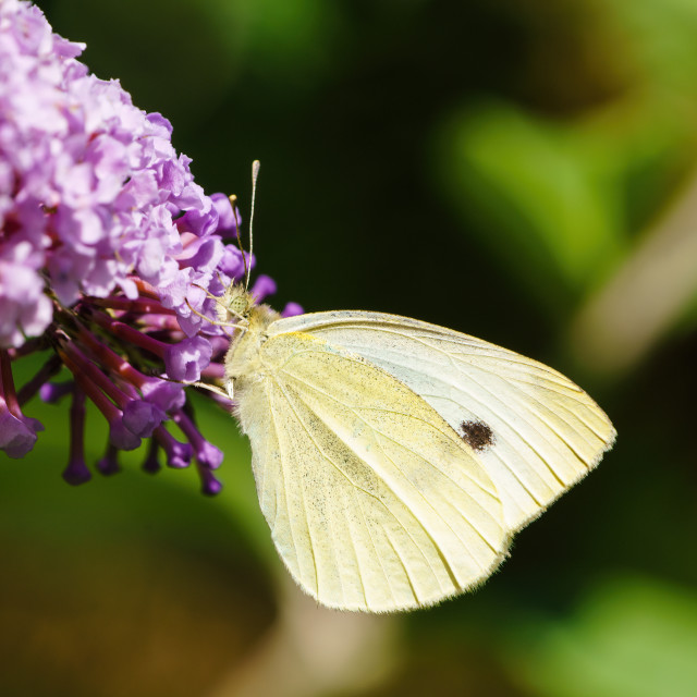 """Large White butterfly (Pieris brassicae) on a pink flower, taken in London, UK"" stock image"