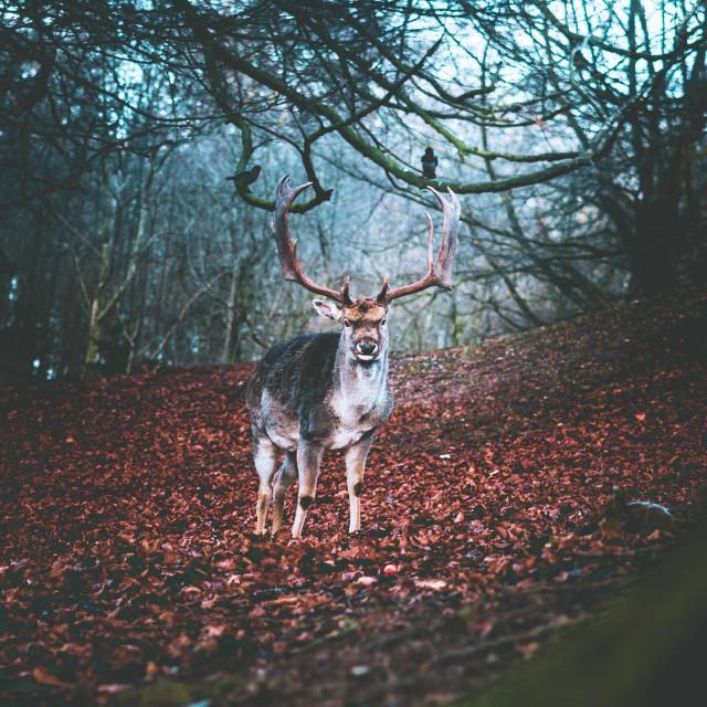 """Deer looking at camera"" stock image"
