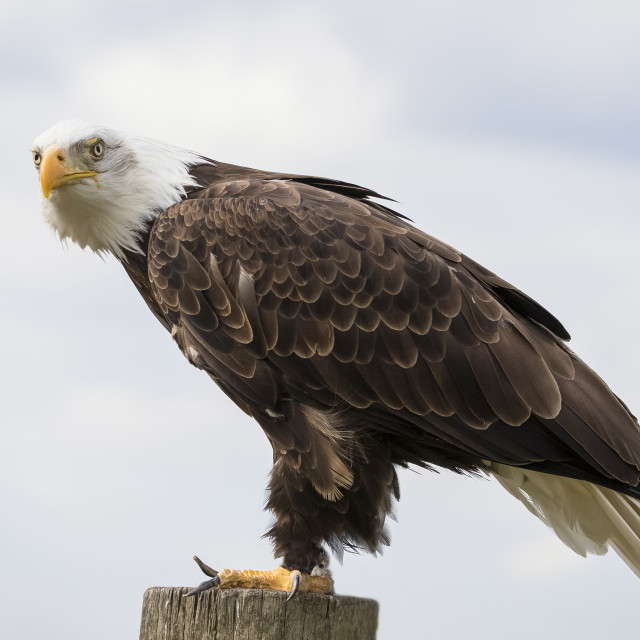 """American bald eagle, bird of prey"" stock image"