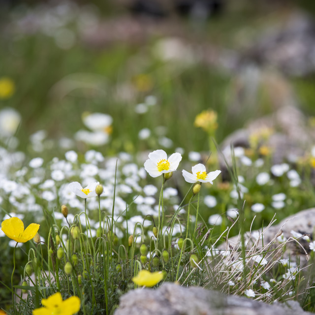 """Little white flowers"" stock image"