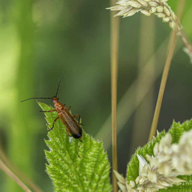 """""""Common Red Soldier Beetle"""" stock image"""