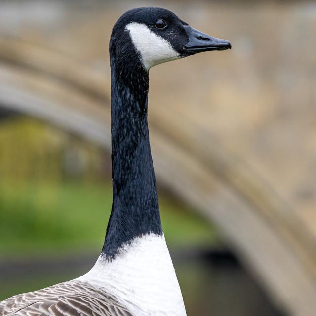 """""""Goose, Trinity College Cambridge UK."""" stock image"""