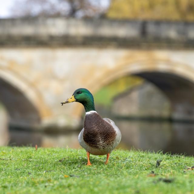 """""""Duck, Trinity College Cambridge UK."""" stock image"""