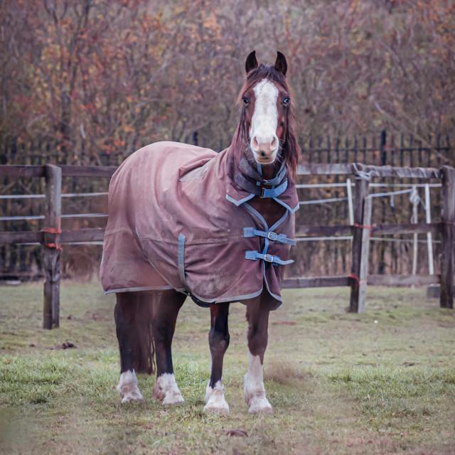 """Horse, Fen Ditton Cambridge UK."" stock image"
